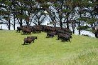 cattle a