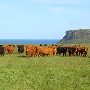 Cattle grazing in front of The Nut, Stanley
